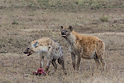 Two spotted Hyenas with a Thompspn's gazelle carcass they stole from a cheetah in Tanzania, Africa