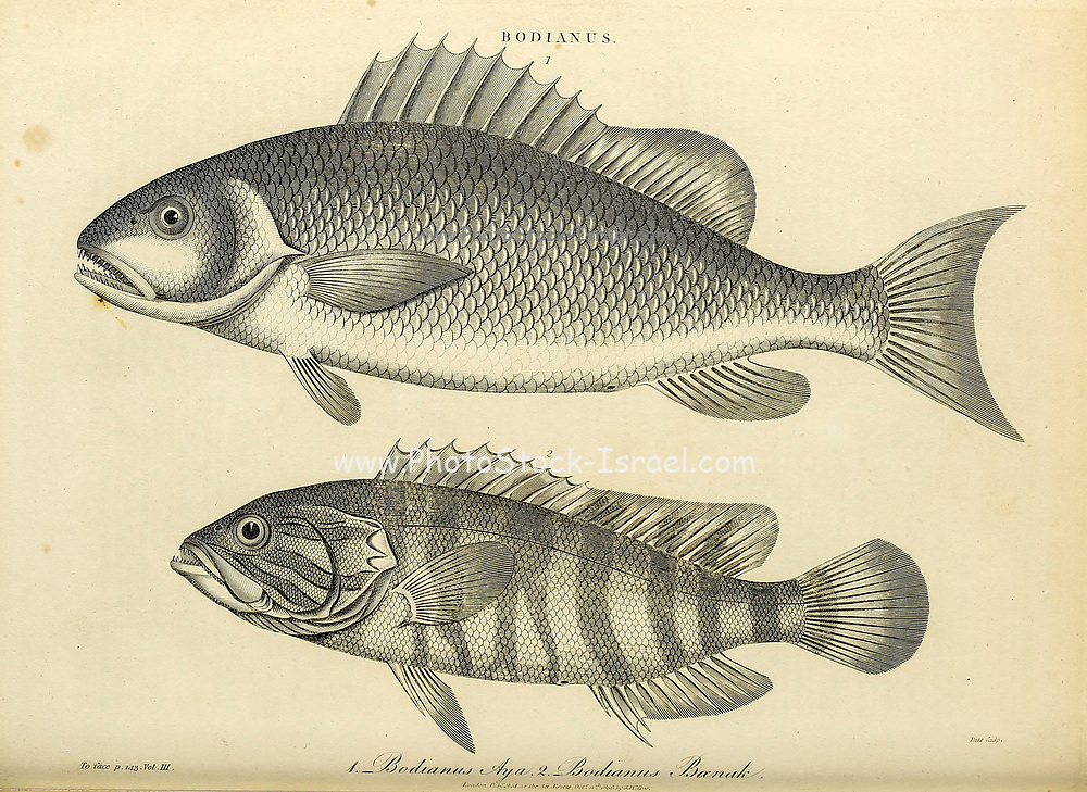 Bodianus [Bodianus or the hogfishes is a genus of fish in the family Labridae found in the Atlantic, Indian and Pacific Ocean. These species have many parasites] Copperplate engraving From the Encyclopaedia Londinensis or, Universal dictionary of arts, sciences, and literature; Volume III;  Edited by Wilkes, John. Published in London in 1810
