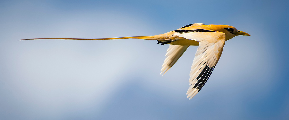 The spectacular golden morph of the white-tailed tropicbird (Phaethon lepturus fulvus) in flight.<br /> <br /> Available as an open edition print and as a stock image.<br /> <br /> Add to Cart to view options and pricing.