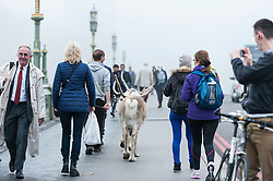 """© Licensed to London News Pictures. 02/11/2015. London, UK. Commuters arriving for work are met by reindeer being walked on a foggy Westminster Bridge.  The event was to promote the DVD/Blu Ray release of a film called """"Get Santa"""", just in time for Christmas. Photo credit : Stephen Chung/LNP"""