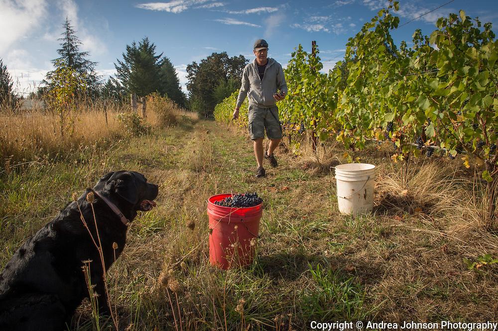 Pinot Noir harvest for Formaglini Vineyard, Chehalem Mountain AVA, Willamette Valley, Oregon