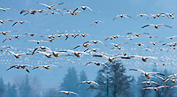 Snow Goose (Chen caerulescens) flock lifts into the air because of the presence of a bald eagle at Fir Island, Skagit River delta, Puget Sound, Washington, USA