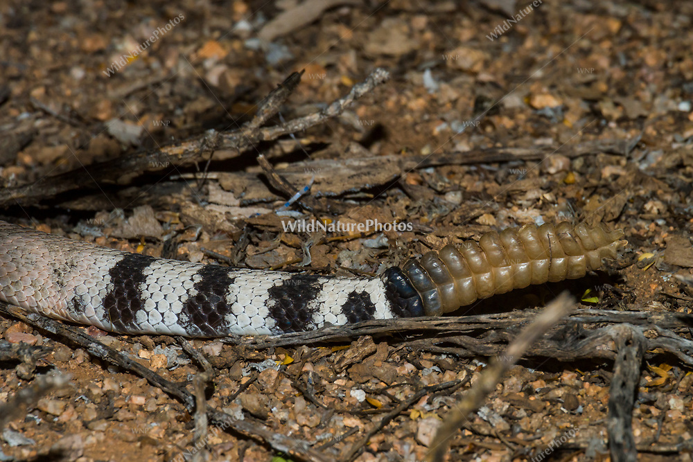 The banded tail and broken rattle of a mature Western Diamondback rattlesnake (Crotalus atrox) are visible as the snake disappears into vegetation (Arizona)