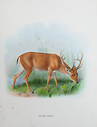 The barasingha (Rucervus duvaucelii), also called swamp deer, is a deer species distributed in the Indian subcontinent. from the book ' The deer of all lands : a history of the family Cervidae, living and extinct ' by Richard Lydekker, Published in London by Ward 1898
