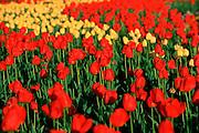 Tulips, Victoria, British Columbia, Canada<br />