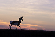 Pronghorn (Antilocapra americana) at sunset. Hart Mountain National Wildlife Refuge, Oregon.