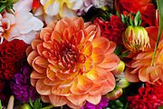 Dahlia flower, Hilo Market, Island of Hawaii