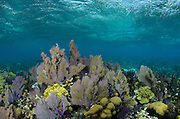 Sea fans (Gorgonia sp.) & Coral reef diversity<br /> Banco Chinchorro, <br /> Offshore Atoll<br /> Yucatan Peninsula<br /> Mexico<br /> Central America