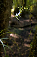Side view of the ghost orchid. The five to six inch spur is a long hollow tube that contains the nectar which draws the giant silk moth. This unique moth has a six inch tongue that while reaching the bottom of the spur to feed, some pollen from the flower's anther will stick to the head of the moth, and then get transfered to the next ghost orchid it feeds on. While visiting several flowers during the course of a night - it unknowingly pollinates these flowers to produce the next generation of ghosts. Without this special moth, we would have no ghost orchids.