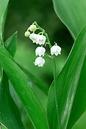 LILY-OF-THE-VALLEY Convallaria majalis (Liliaceae) Height to 20cm. Creeping perennial of dry woodland, usually on calcareous soils. FLOWERS are bell-shaped and white; borne in 1-sided spikes, the flowers stalked and nodding (May-Jun). FRUITS are red berries. LEAVES are oval and basal; 2 or 3 per plant. STATUS-Occurs locally in England and Wales; sometimes naturalised as a garden escape.