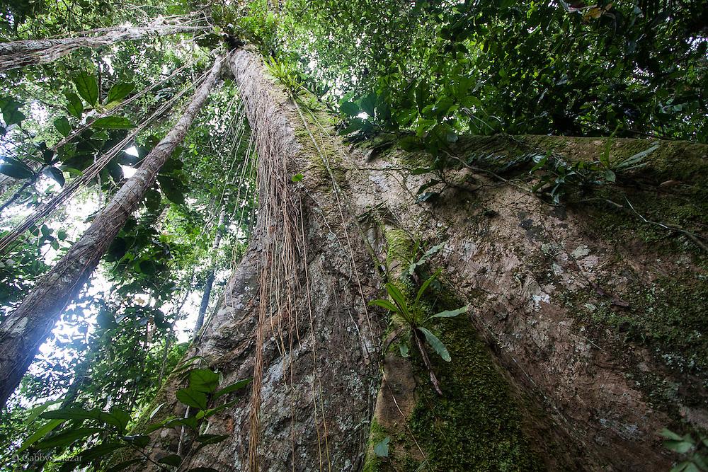 Tree in Yasuni National Park, Ecuador.