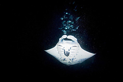 Manta Ray, Mobula alfredi, and Hawaiian Flagtail, or Aholehole in Hawaiian, Kuhlia sandvicensis, endemic to Hawaii, feeding on plankton at night, off Kona Coast, Big Island, Hawaii, Pacific Ocean