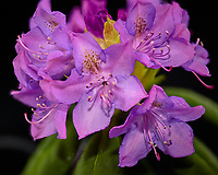 Cluster of rhododendron blooms in a light box. Composite of 63 focus stacked images taken with a Nikon Df camera and 105 mm f/2.8 VR macro lens (ISO 100, 105 mm, f/4, 1/125 sec). Focus composite processed with Helicon Focus (Method B, R=8, S=4)