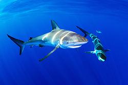Galapagos sharks, .Carcharhinus galapagensis, .North Shore, Oahu, Hawaii (Pacific)