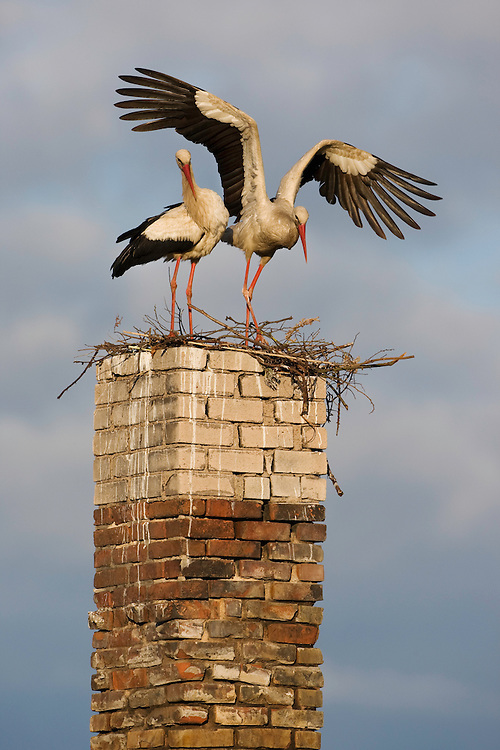 White stork (Ciconia ciconia) pair at nest on old chimney. Rusne, Lithuania. Mission: Lithuania, June 2009