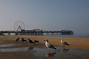 Seagulls by the seaside with Blackpool Piers Big Wheel in the background as temperatures in the country soar on 7th September, 2021 in Blackpool, United Kingdom. Temperatures in the UK are predicted to soar to highs of 29 degrees celsius, coinciding with a rise in daycation and staycation domestic tourism in the country as a result of Covid-19 precautions that make foreign travel increasingly costly and difficult.