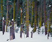 Winter view of mixed coniferous forest near Wolverton Creek, Sequoia National Park, California.