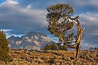 The Old Patriarch Tree and Mount Moran.  Grand Teton National Park, Wyoming, USA.