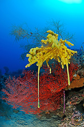 Gelber Schwamm auf Schwarzer Koralle und roter Gorgonie, yellow sponge on black coral and red sea fan,  Pemuteran, Bali, Indonesien, Asien, Indopazifik, Indonesia, Indo-Pacific Ocean, Asia