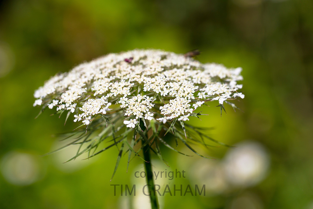 Wildflower Wild Carrot, Daucus carota, also known as Queen Anne's Lace, in The Cotswolds, England, UK