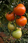 Tomatoes (Solanum lycopersicum) crop growing in a greenhouse. Photographed in Israel