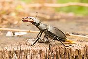 Male stag beetle (Lucanus cervus) on tree stump. Surrey, UK.