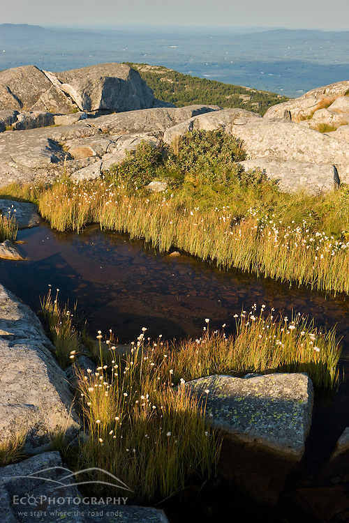 Cotton Sedge, eriophorum vaginatum var. spissum, near the summit of Mount Monadnock in New Hampshire's Monadnock State Park.