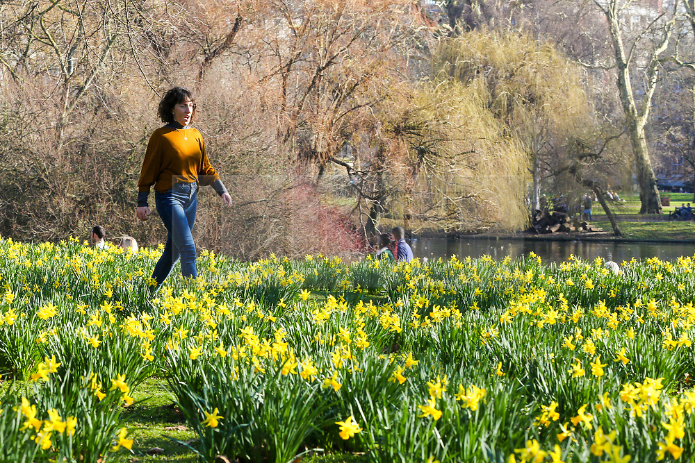 © Licensed to London News Pictures. 23/02/2019. London, UK. A woman walks among daffodils in St James's Park during unseasonably warm weather in the UK. The spell of warm weather is set to bring temperatures this weekend close to the record for February. Photo credit: Dinendra Haria/LNP