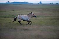 Przewalsky horses (Equus ferus przewalskii)  on the neverending grassland of Hortobagy National Park, Hungary