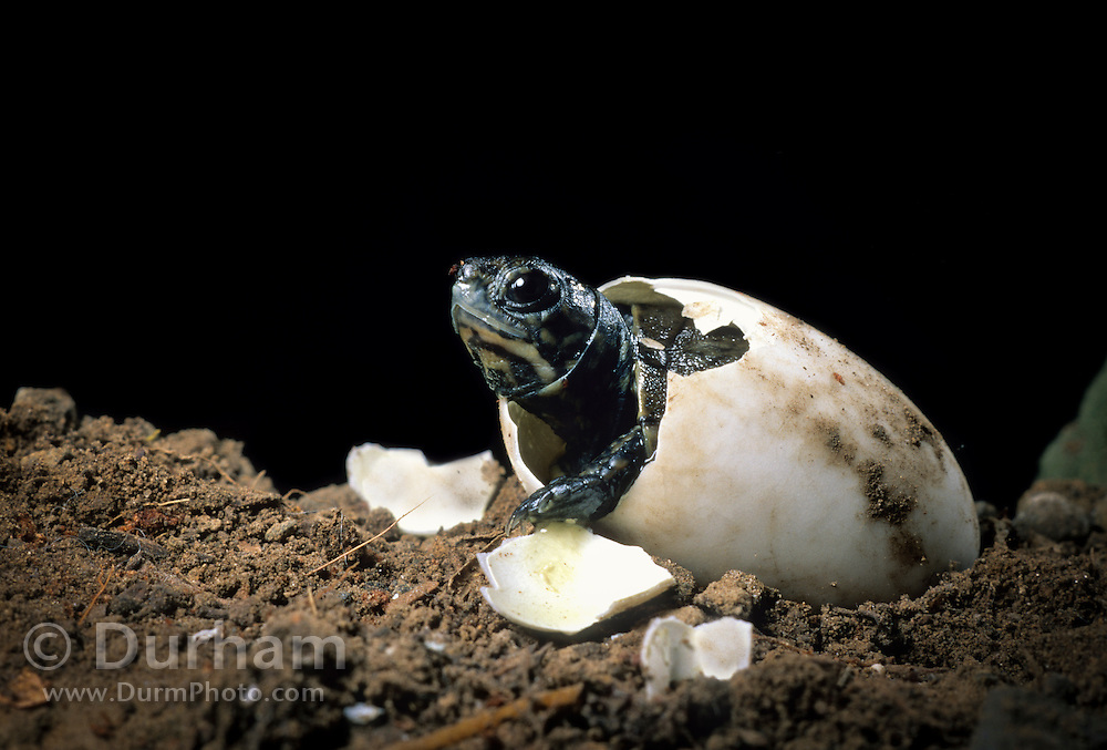 Western pond turtle (Clemmys marmorata) hatching out of its egg. Columbia River Gorge, Washington USA. Temporarily captive/controlled conditions. (4 0f 7)
