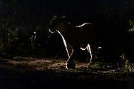 Eine Leopardin (Panthera panthera) auf der Jagd während der Abenddämmerung im Gegenlicht eines Scheinwerfers, Greater Kruger Area, Südafrika<br /> <br /> A leopard (Panthera panthera) on the hunt during dusk in the backlight of a headlight, Greater Kruger Area, South Africa