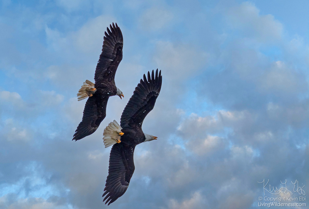 A pair of bald eagles (Haliaeetus leucocephalus) soar over the Everett, Washington, waterfront on a cloudy day.