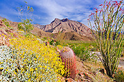 Barrel cactus, brittlebush and ocotillo under Indianhead Peak, Anza-Borrego Desert State Park, California USA