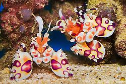 a mated pair of harlequin shrimps, Hymenocera picta,  - prey on sea stars, Hawaii, Pacific Ocean (c)