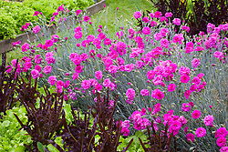 Dianthus 'Devon Wizard' AGM with Lettuce 'Solix' and 'Green Salad Bowl'