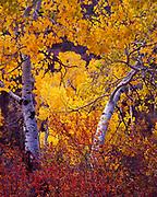 Autumn gold of Quaking Aspen, Populus tremuloides, along Mill Creek, western slope of the La Sal Mountains, Manti-La Sal National Forest, Utah.