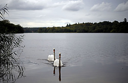 Two Swans swim on the lake during a autumn day at Virginia Water in Surrey.