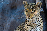 Portrait of a leopard, Panthera pardus, resting in a three shade.