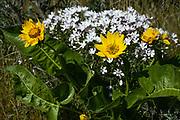 Balsamroot, and phlox, April, Kittitas County, Washington, USA