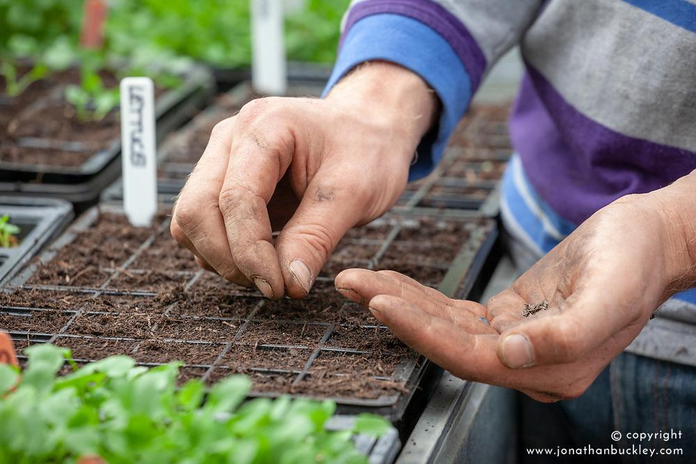 Sowing winter salad - lettuce - in module trays