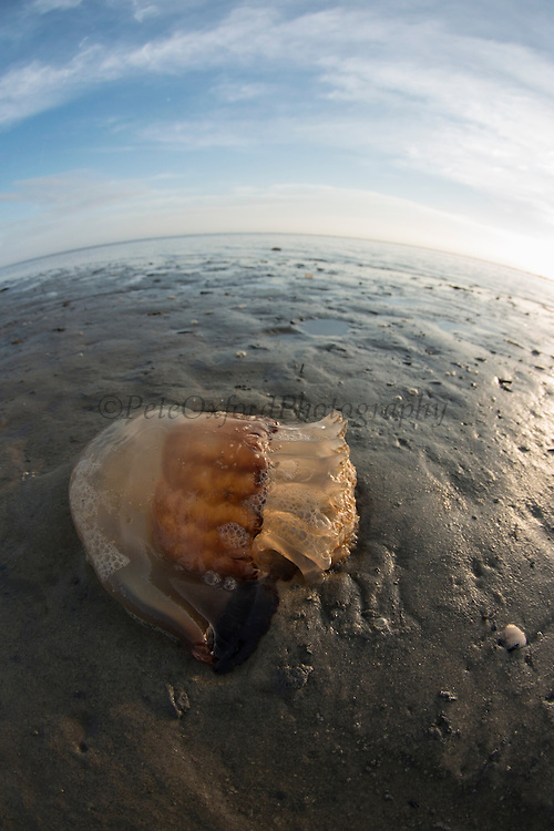 Cannonball Jellyfish (Stomolophus meleagris)<br /> Little St Simon's Island, Barrier Islands, Georgia<br /> USA<br /> HABITAT & RANGE: Warm estuarian waters of Pacific and Atlantic Oceans. Most commonly on se coast of USA