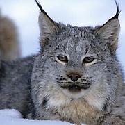 Canada Lynx, (Lynx canadensis) Portrait.Winter. Captive Animal.