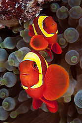 A pair of Spinecheek Anemonefish, Premnas biaculeatus, snuggle among tentacles of their host, a Bulb-tipped Anemone, Entacmaea quadricolor. Andaman Islands, Andaman Sea, India, Indian Ocean