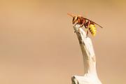Hornet (Vespa crabro). Surrey, UK.
