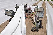 Nederland, Vorstenbosch, 25-6-2019Deze Poolse landwerker, aspergesteker, arbeidsmigrant, steekt de laatste asperges van het seizoen. Het is tropisch warm en het werk is erg zwaar in deze hitte.Foto: Flip Franssen