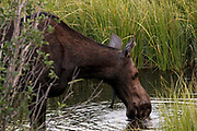 A cow moose stops to drink from a creek near Wilson, WY on July 24, 2017. Her two babies remained hidden in the brush not far behind.