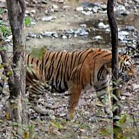Asia, India, Ranthambore. Royal Bengal Tiger at Ranthambore National Park.