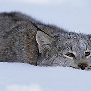 Canada Lynx, (Lynx canadensis) Montana. Portrait. In pounce position. Winter. Captive Animal.