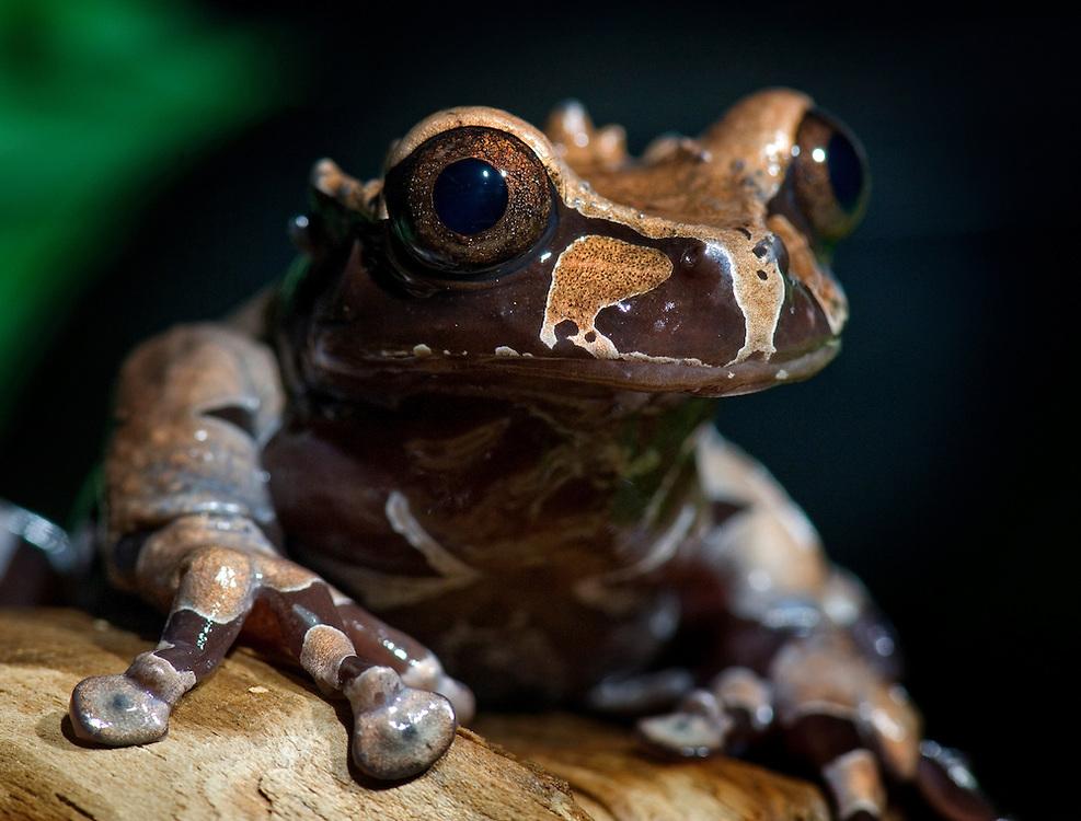 Spiny headed Treefrog (Anotheca spinosa)