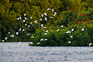 A group of Snowy Egret (Egretta thula) in flight, with roosting Scarlet Ibis (Eudocimus ruber). Trinidad